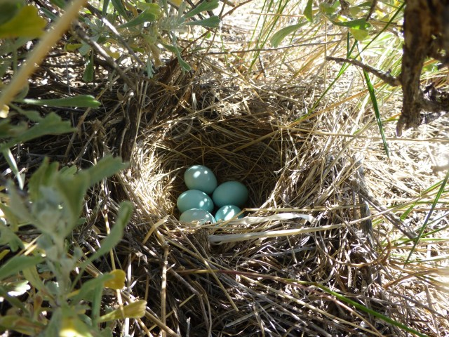 A Brewer's sparrow nest... from last year.