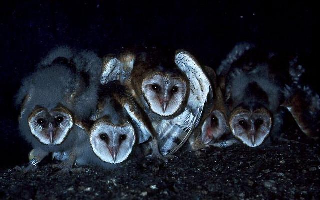 Fledgling Barn Owls