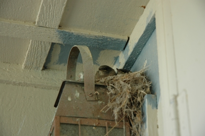 Two of the phoebes that grew up on my porch