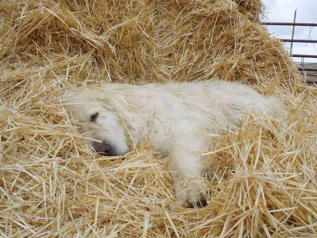 Lambing wouldn't be complete without a photo of a sleeping guard dog.