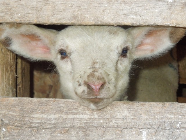 A sweet little lamb peeks out from his private world into the bigger world beyond.
