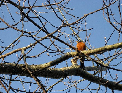 Robin in Tree